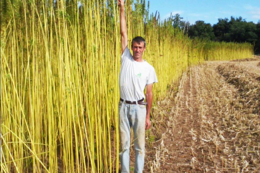 Culture Chanvre - Cultivatrice de Chanvre - La Ruche qui dit Oui ! à la maison