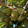 Vergers de la Chaunière - Arboriculteur BIO - La Ruche qui dit Oui ! à la maison