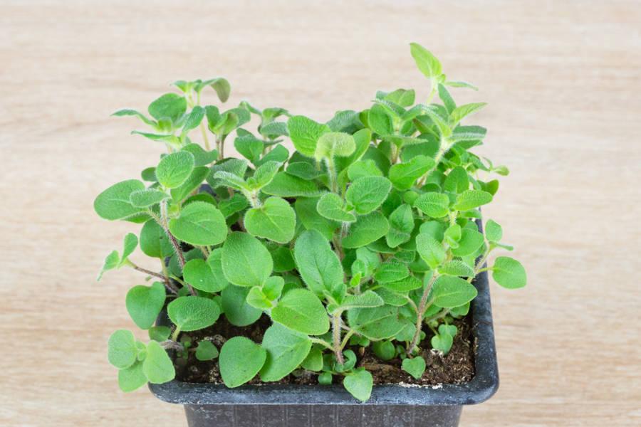 Plant d'origan - Pépinière La Sauge - La Ruche qui dit Oui ! à la maison