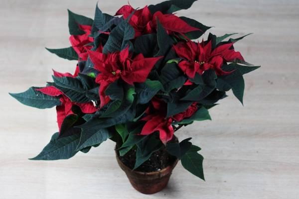 Rose de Noël - Sceh Véron & Fils