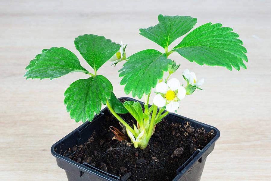 Plant de fraisier - Mara des Bois - Pépinière La Sauge - La Ruche qui dit Oui ! à la maison