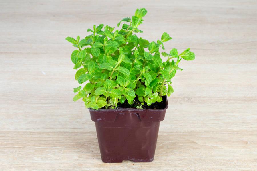 Plant de menthe verte - Pépinière La Sauge - La Ruche qui dit Oui ! à la maison
