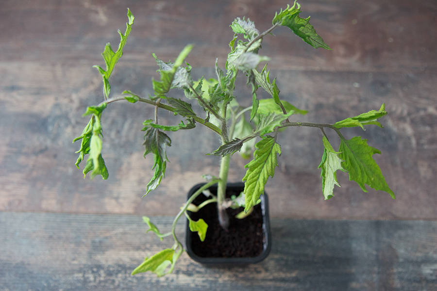 Plant de tomates apéro BIO - Les Légumes de Laura - La Ruche qui dit Oui ! à la maison