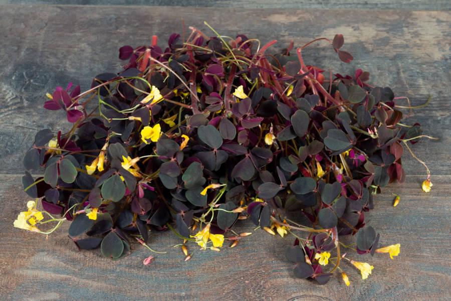 Fleurs d'oxalis pourpre - Hydropousse - La Ruche qui dit Oui ! à la maison