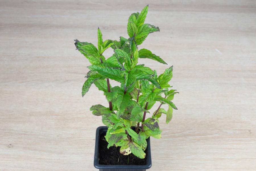 Plant de menthe BIO - Les Légumes de Laura - La Ruche qui dit Oui ! à la maison