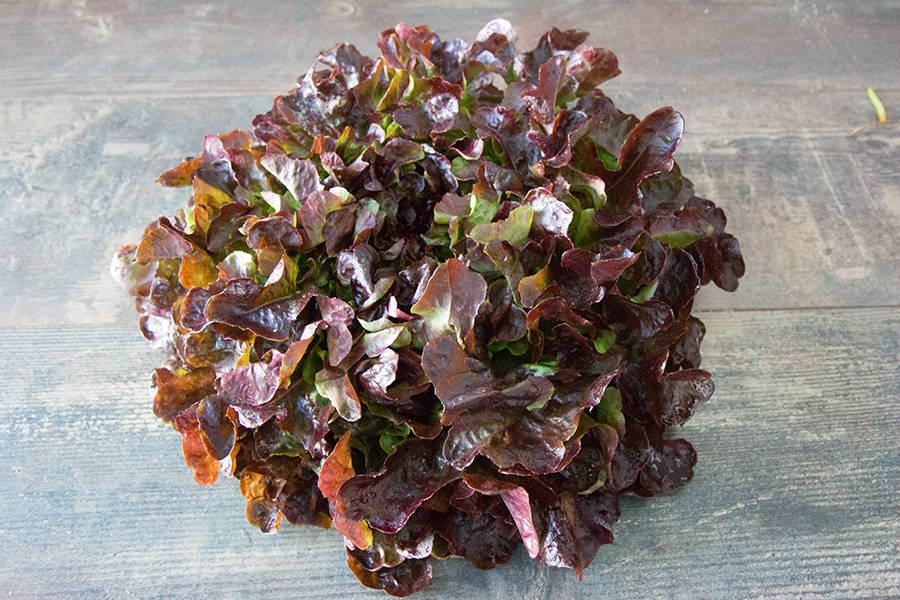 Feuille de chêne rouge BIO - Les Légumes de Planche - La Ruche qui dit Oui ! à la maison