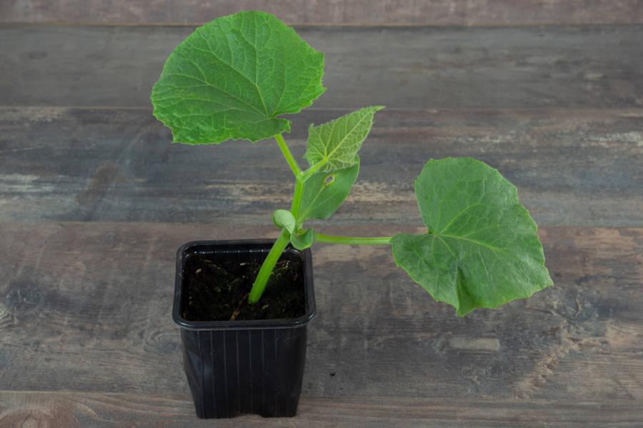Plant de concombre BIO - Les Légumes de Laura - La Ruche qui dit Oui ! à la maison