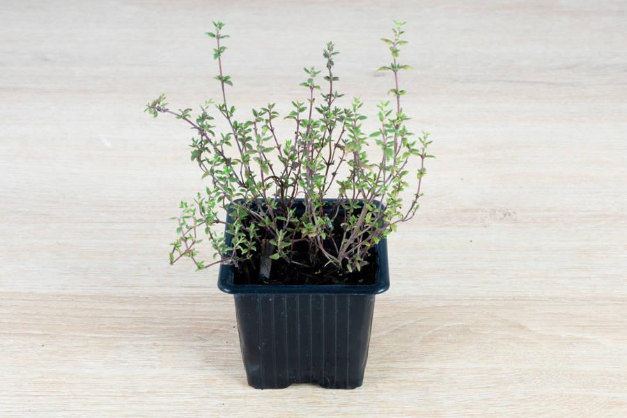 Plant de thym - Pépinière La Sauge - La Ruche qui dit Oui ! à la maison