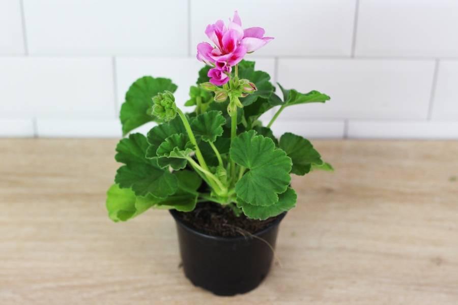 Géranium rose clair - Sceh Véron & Fils - La Ruche qui dit Oui ! à la maison