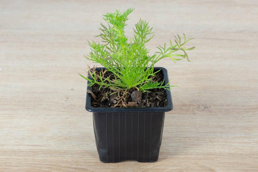 Plant de camomille - Pépinière La Sauge - La Ruche qui dit Oui ! à la maison