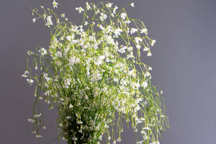 Gypsophyle blanc - Eric Fontyn - La Ruche qui dit Oui ! à la maison