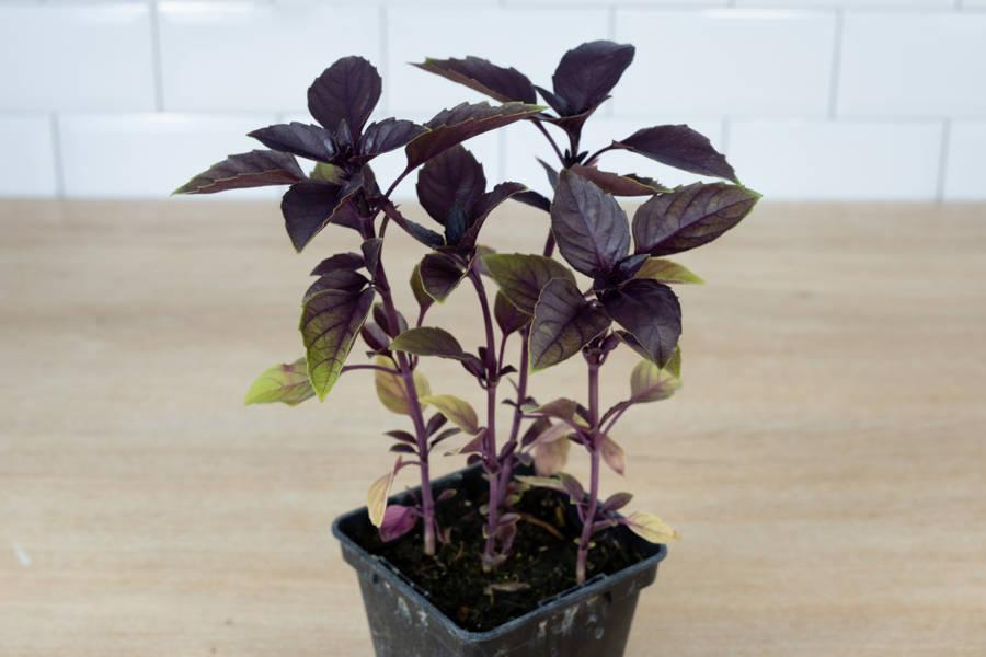 Plant de basilic pourpre - Pépinière La Sauge - La Ruche qui dit Oui ! à la maison
