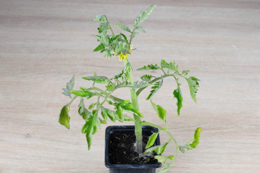 Plant de tomate jaune BIO - Les Légumes de Laura - La Ruche qui dit Oui ! à la maison