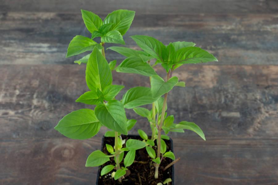 Plant de basilic thaï - Pépinière La Sauge - La Ruche qui dit Oui ! à la maison