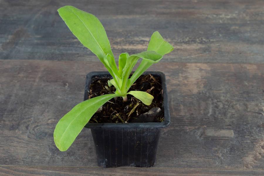 Plant de soucis - Pépinière La Sauge - La Ruche qui dit Oui ! à la maison