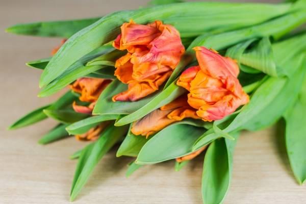 Tulipes à bulbe Monarch - Bouquet de 10 - Des roses dans mon jardin