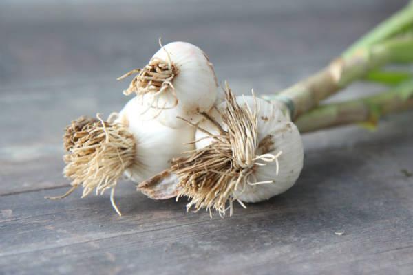 Botte d'ail BIO - Les Légumes de Planche