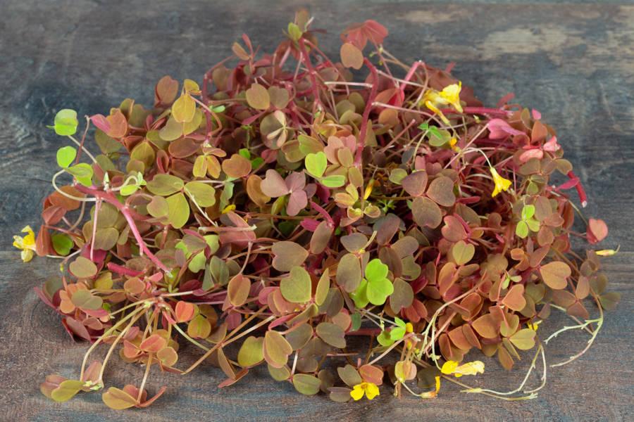 Fleurs d'oxalis jaune - Hydropousse - La Ruche qui dit Oui ! à la maison