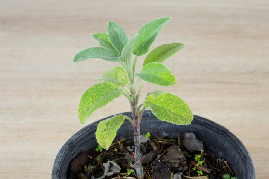 Plant de sauge officinale - Pépinière La Sauge - La Ruche qui dit Oui ! à la maison
