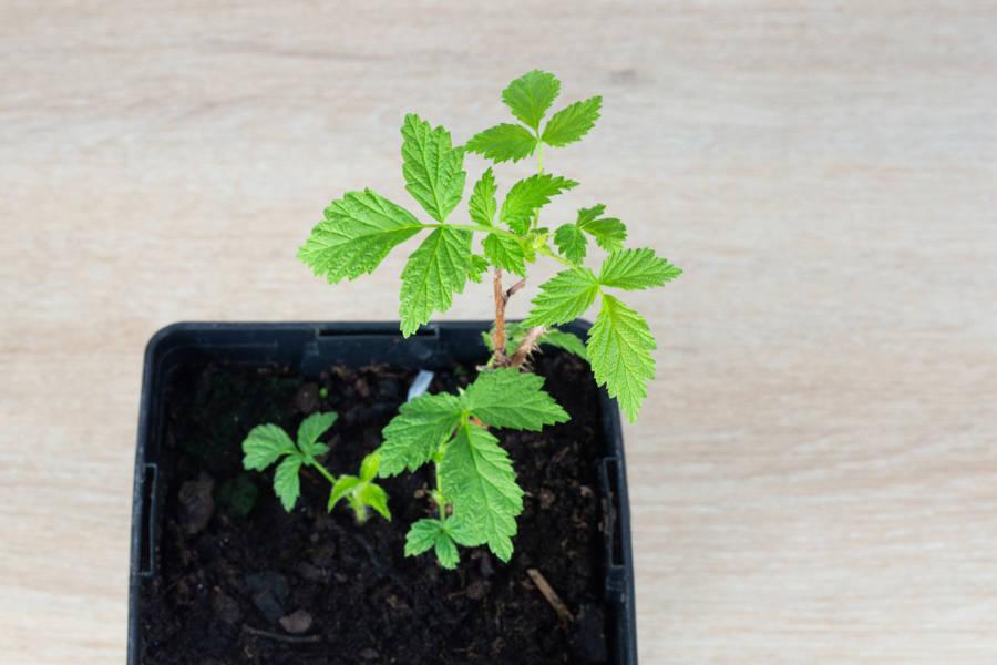 Plant de framboisier - Pépinière La Sauge - La Ruche qui dit Oui ! à la maison