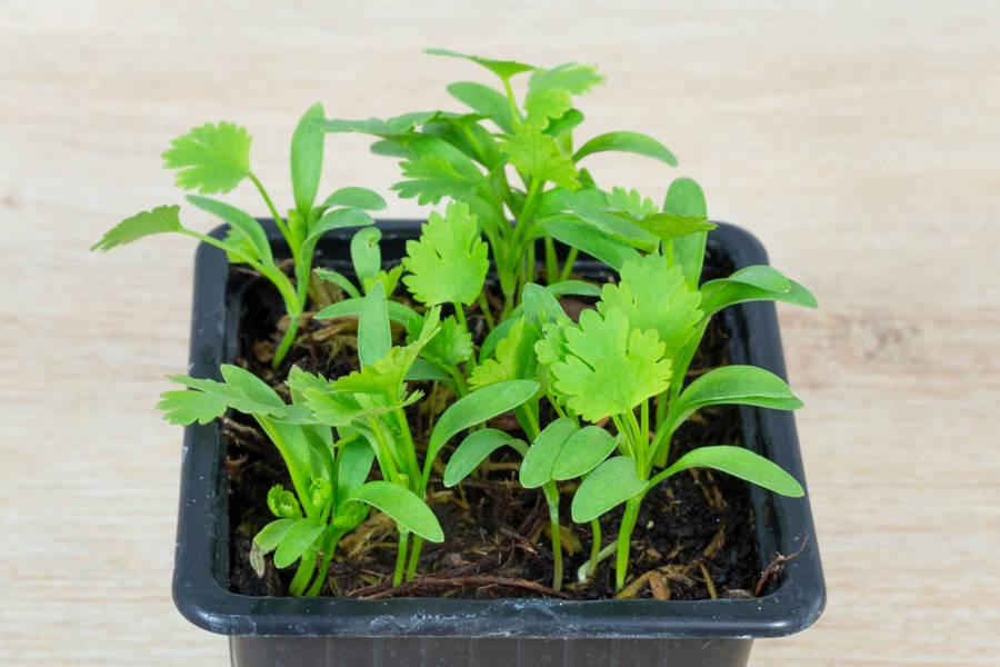 Plant de coriandre - Pépinière La Sauge - La Ruche qui dit Oui ! à la maison