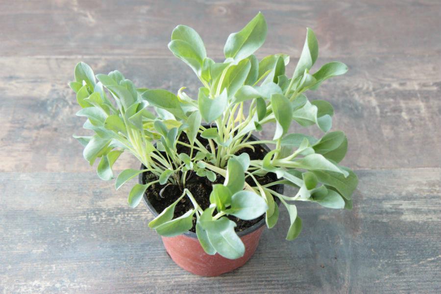 Plante à Huître est un produit livré à domicile
